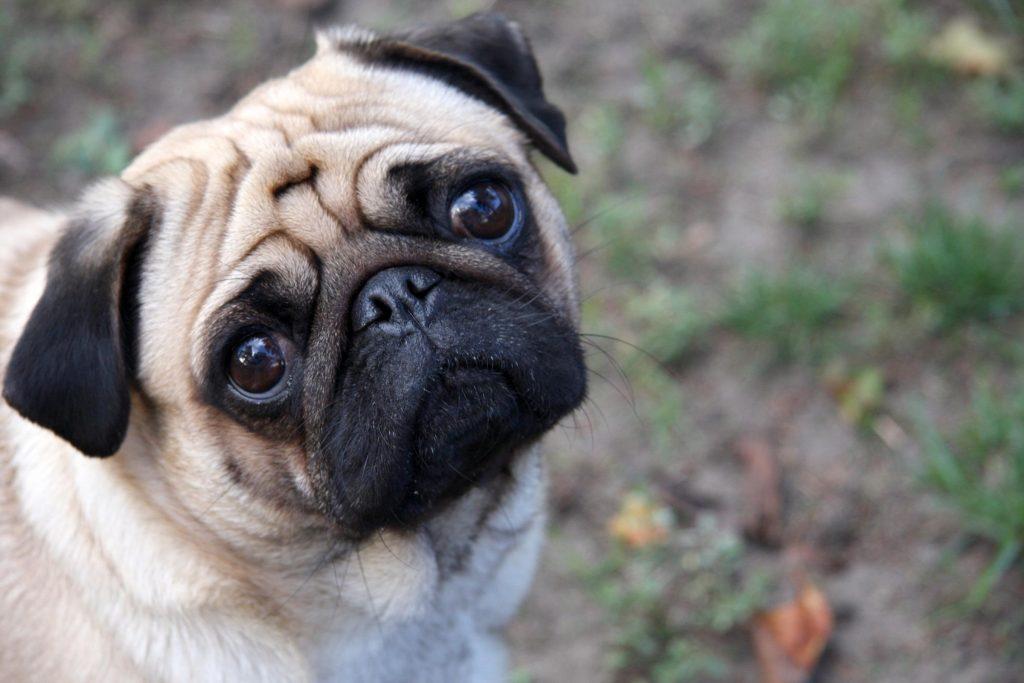 razas de perros pug