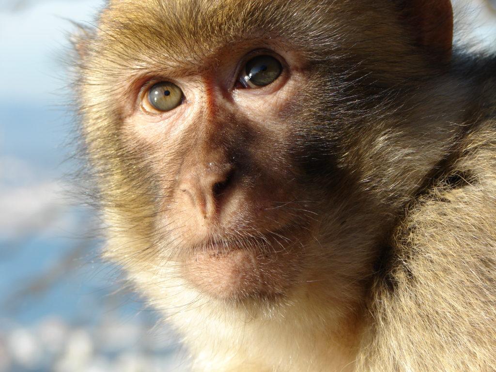 macaco peñón Gibraltar